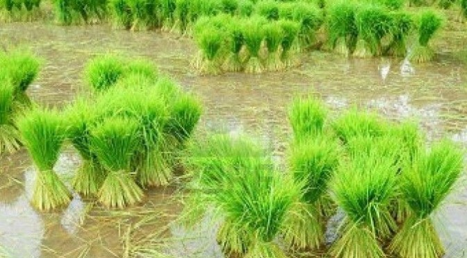 China cancels Thailand rice deal