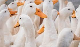 Swine Fever: China's duck farmers cash in